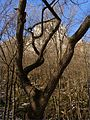 Spletitý strom ^ Swirly tree - panoramio.jpg
