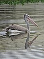 Spot-billed pelican IMG 7288.jpg