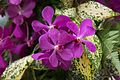 Spotted purple orchids (27322205414).jpg