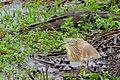 Squacco Heron (Ardeola ralloides) (33230677081).jpg
