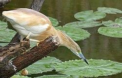 Squacco Heron (Ardeola ralloides) hunting ... (46059178294).jpg