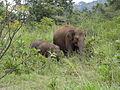 Sri Lankan Elephant in Hurulu Eco Park 16.jpg