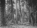Stand of trees, Pierce County, ca 1904 (INDOCC 1300).jpg