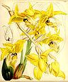 Stanhopea wardii - Curtis vol. 88 (ser. 3 no. 18) pl. 5289 (1862).jpg