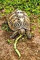 Star Tortoise (Geochelone Elegans) 03.jpg