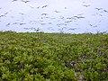 Starr-010520-0024-Scaevola taccada-habit with sooty terns-inland-Kure Atoll (23905905203).jpg