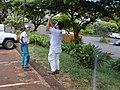 Starr-020620-0097-Coccinia grandis-habit with Kim and Mach-Honokowai-Maui (23923208143).jpg