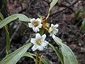 Starr-030202-0084-Myoporum sandwicense-flowers-Wailea 670-Maui (23993075493).jpg