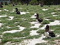 Starr-080531-4820-Lobularia maritima-flowering habit and Laysan albatross chicks-Bravo barracks Sand Island-Midway Atoll (24817442821).jpg
