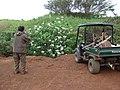 Starr-081230-0652-Montanoa hibiscifolia-habit with Paul-Upper Kaulana-Kahoolawe (24559593099).jpg