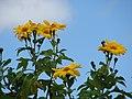Starr-090416-5975-Tithonia diversifolia-flowers-Makawao-Maui (24656445010).jpg