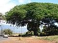Starr-090604-8915-Enterolobium cyclocarpum-habit-Puunene-Maui (24869014481).jpg
