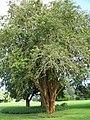 Starr-091104-0688-Lagerstroemia sp-cv Natchez habit-Kahanu Gardens NTBG Kaeleku Hana-Maui (24360609813).jpg