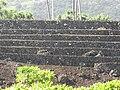 Starr-091104-8819-Carica papaya-habit with Piilanihale heiau-Kahanu Gardens NTBG Kaeleku Hana-Maui (24961815016).jpg