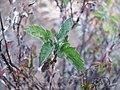 Starr-100714-3320-Bidens pilosa-leaves-West Rim below Kalahaku Haleakala National Park-Maui (24950377271).jpg