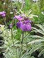 Starr-110307-2068-Erysimum linifolium-flowers-Kula Botanical Garden-Maui (24781915620).jpg