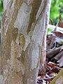 Starr-110307-2134-Pimenta dioica-bark-Kula Botanical Garden-Maui (24782053430).jpg