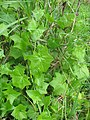 Starr-120329-9230-Delairea odorata-leaves-Kula-Maui (24507594454).jpg