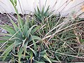 Starr-121218-1029-Aloe massawana-on right with vera on left-Honokanaia-Kahoolawe (24830094349).jpg