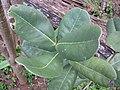 Starr-130319-3144-Cupaniopsis anacardioides-leaves-Kilauea Pt NWR-Kauai (25115510321).jpg