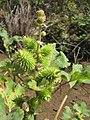 Starr-130320-3446-Xanthium strumarium var canadense-seed capsules-Mokolea Pt Kilauea Pt NWR-Kauai (25182898256).jpg