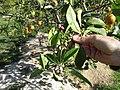 Starr-150326-1640-Citrus meyeri-flowers with purple-Citrus Grove Sand Island-Midway Atoll (24636882264).jpg