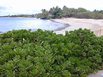 Tropical vegetation - Tropical coastline vegetation in Maui with Scaevola taccada bush in the foreground