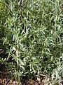 Starr 020116-0040 Bassia hyssopifolia.jpg