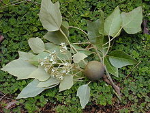 Parts of the Candlenut tree (Aleurites moluccana)