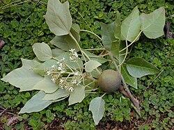 meaning of euphorbiaceae