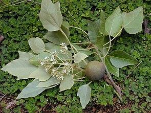 """Lichtnussbaum (Aleurites moluccana), Zweige mit """"mehligen"""", gelappten Blättern, Blütenstand und Frucht."""