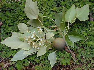 Aleurites moluccanus - Candlenut foliage, flowers, and nut