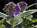 Starr 020815-0037 Tibouchina multiflora.jpg