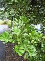 Starr 031204-0004 Cupaniopsis anacardioides.jpg