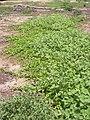 Starr 040411-0017 Jacquemontia ovalifolia subsp. sandwicensis.jpg