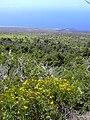 Starr 040731-0008 Bidens micrantha subsp. kalealaha.jpg