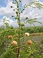 Starr 060721-9545 Leucaena leucocephala.jpg
