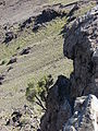 Starr 060924-0351 Coprosma montana.jpg