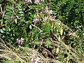 Starr 070111-3194 Gliricidia sepium.jpg