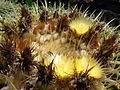 Starr 070320-5807 Echinocactus grusonii.jpg