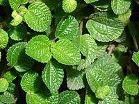 Starr 070321-6051 Pilea nummulariifolia