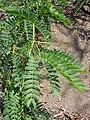 Starr 070404-6593 Prosopis juliflora.jpg