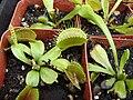 Starr 070906-8685 Dionaea muscipula.jpg