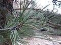 Starr 071226-0884 Pinus ponderosa.jpg