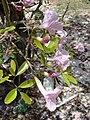 Starr 080531-4767 Tabebuia heterophylla.jpg