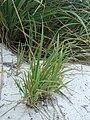 Starr 080601-5205 Eragrostis variabilis.jpg