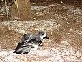 Starr 080612-8767 Casuarina equisetifolia.jpg