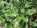 Starr 080613-8797 Vitex trifolia.jpg