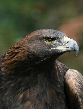 Iowa Tribe of Oklahoma - Golden eagle, Aquila chrysaetos