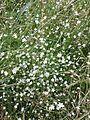 Stellaria graminea sl10.jpg